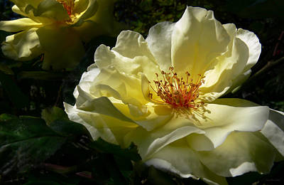 Photograph - Evening Glow Yellow Rose by Jennie Marie Schell