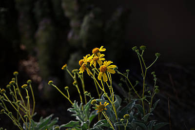 Photograph - Evening Light On The Brittlebush by Lucinda Walter