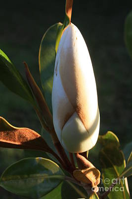 Photograph - Evening Magnolia Bud by Amanda Holmes Tzafrir