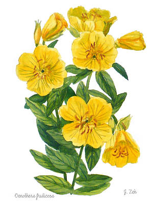 Painting - Evening Primrose - Oenothera Fruticosa by Janet Zeh
