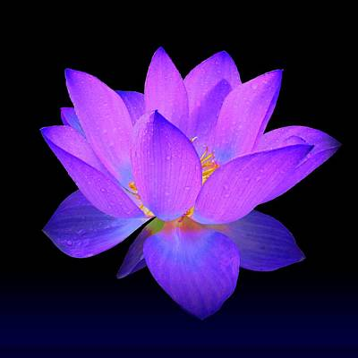 Evening Purple Lotus  Art Print by David Dehner