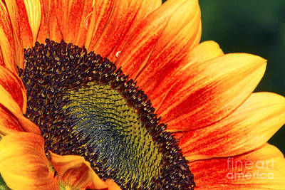 Evening Sun Sunflower Art Print