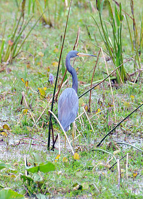 Photograph - Everglade Heron by Rebecca Parker