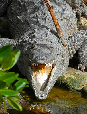 Photograph - Everglades Crocodile Enp by David Lee Thompson