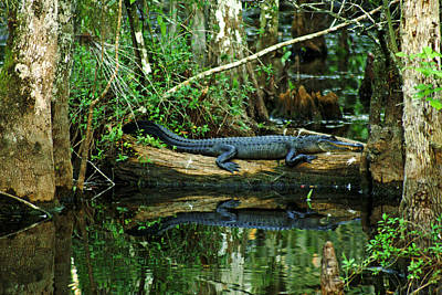 Photograph - Everglades Gator by Daniel Woodrum