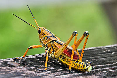 Photograph - Everglades Grasshopper 2 by Theo OConnor