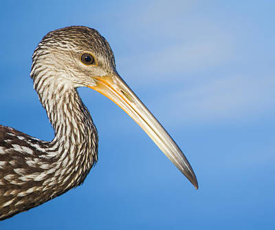 Beauty Mark Photograph - Everglades Limpkin by Mark Andrew Thomas