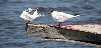 Photograph - Everglades Terns by Kathleen Scanlan