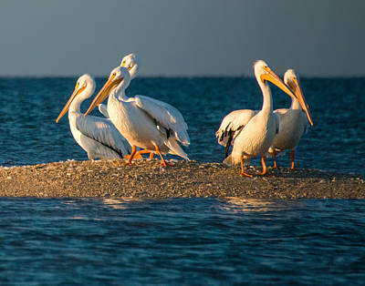 Animal Paintings David Stribbling - Everglades White Pelicans by Gloria Matyszyk