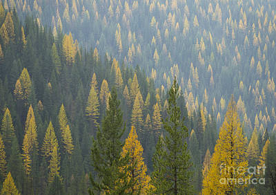 Photograph - Evergreen And Gold by Idaho Scenic Images Linda Lantzy