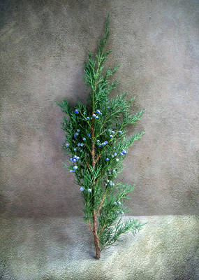 Photograph - Evergreen Bough With Blue Berries by Louise Kumpf
