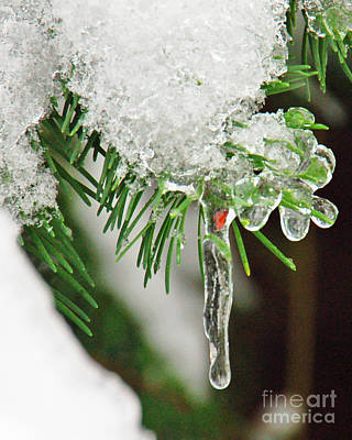 Evergreen Icicles Iv Art Print