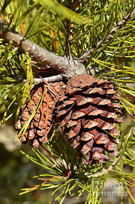 Digital Art - Evergreen Pine Cone  by Eva Kaufman