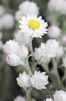 Everlasting Flower Photograph - Everlasting by Neil Overy