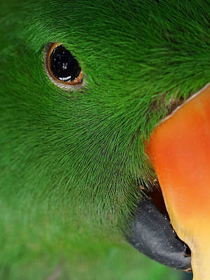 Eclectus Parrot Photograph - Evil Eye by Ernie Echols