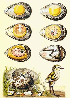 Hatchlings Drawing - Evolution Of A Chicken Within An Egg by European School