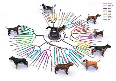 Rottweiler Wall Art - Photograph - Evolution Of Dog Breeds by Jose Antonio Penas/science Photo Library
