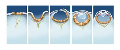 Evolution Of The Eye, Artwork Art Print by Science Photo Library