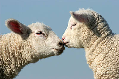 Photograph - Ewe And Lamb Nose To Nose by Tierbild Okapia
