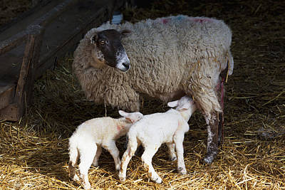 Ewe And New Born Spring Lambs Art Print by Doug McKinlay
