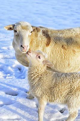 Ewe And Winter Lamb Print by Thomas R Fletcher