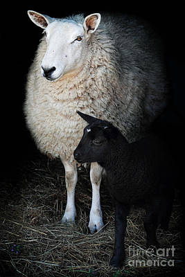 Ewe With Newborn Lamb Art Print