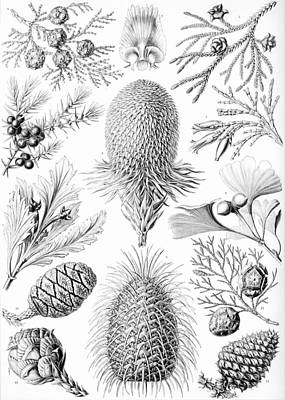 Academic Drawing - Examples Of Coniferae From Kunstformen by Ernst Haeckel