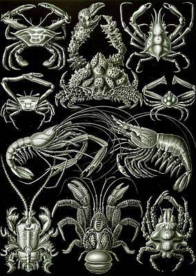 Zoological Painting - Examples Of Decapoda Kunstformen Der Natur by Ernst Haeckel