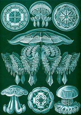 Marine Life Drawing - Examples Of Discomedusae by Ernst Haeckel