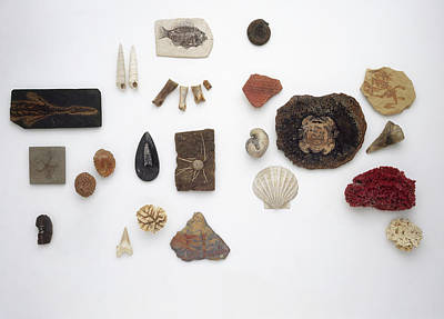 Large Group Of Objects Photograph - Examples Of Fossilised Sea Life by Dorling Kindersley/uig