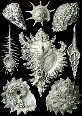 Colorful Drawing - Assorted Sea Shells by Ernst Haeckel