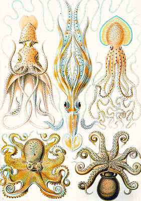 Aquatic Life Drawing - Examples Of Various Cephalopods by Ernst Haeckel