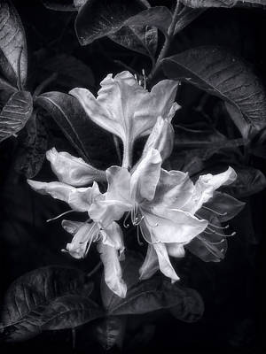 Photograph - Exbury Azalea In Black And White by Louise Kumpf