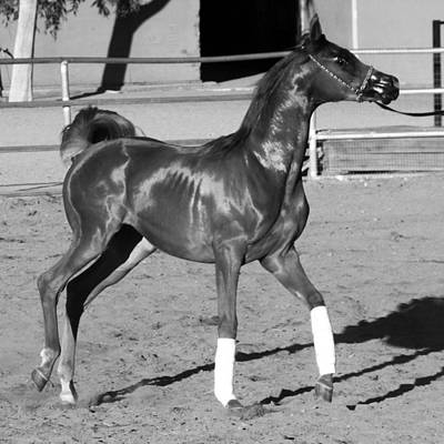 Photograph - Exercising Horse Bw by C H Apperson