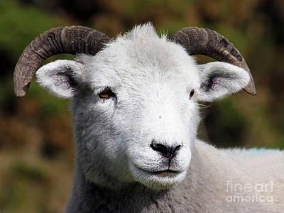 Photograph - Exmoor Horn Sheep by Terri Waters