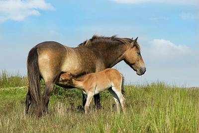 Exmoor Photograph - Exmoor Pony And Foal by David Aubrey