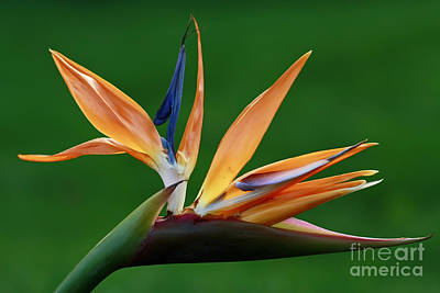 Exotic Bird Of Paradise Art Print by Inspired Nature Photography Fine Art Photography