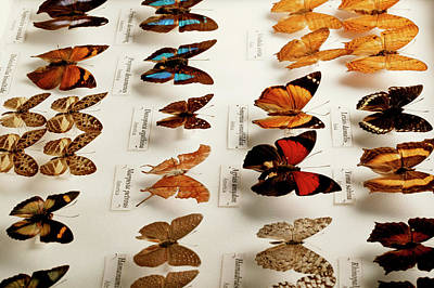 Exotic Butterfly Collection Art Print by Mauro Fermariello/science Photo Library