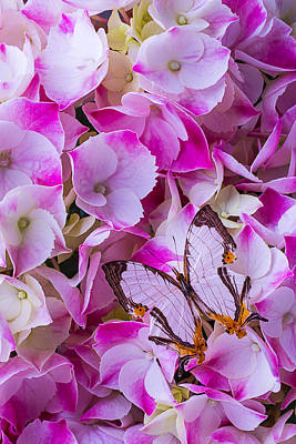 Butterfly Photograph - Exotic Butterfly On Hydrangea by Garry Gay