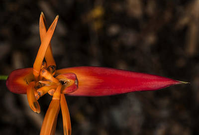 Photograph - Exotic Heliconia by Steven Sparks