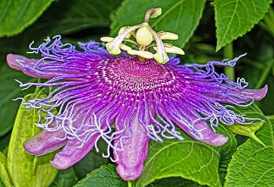 Passiflora Photograph - Exotic by Judy Vincent