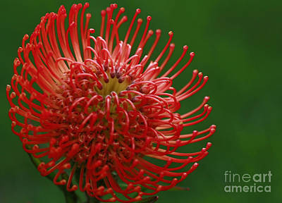 Exotic Pincushion Flower Art Print by Inspired Nature Photography Fine Art Photography