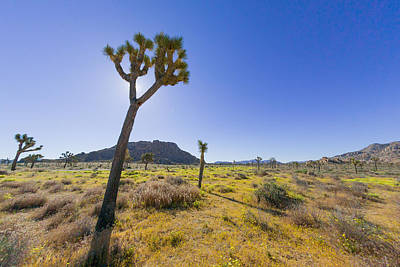 Photograph - Expanse Of Joshua Tree by Scott Campbell