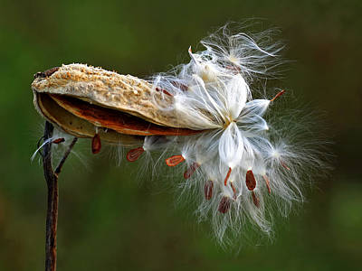 Photograph - Exploding Milkweed by Carolyn Derstine
