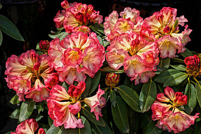 Photograph - Exploding Rhodies by Ronda Broatch