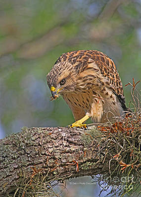 Red Shouldered Hawk Photograph - Exploring The Tree by Deborah Benoit