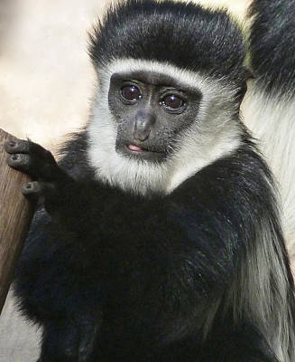 Photograph - Expressive Eyes Of A Young Colobus  by Margaret Saheed
