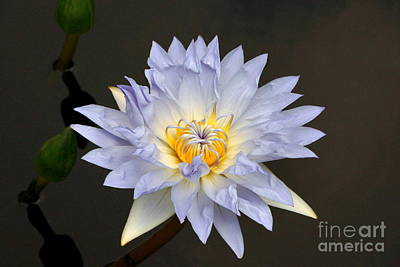 Photograph - Exquisite Lavender Waterlily by Byron Varvarigos