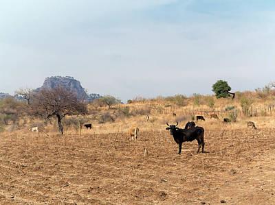 Semi Dry Photograph - Extensive Cow Farming On Corn Field by Daniel Sambraus