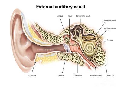 External Auditory Canal Of Human Ear Art Print by Alan Gesek